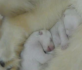 Polar bear birth filmed in color
