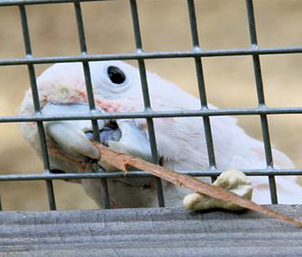 Figaro the cockatoo uses a stick to try to reach a toy.