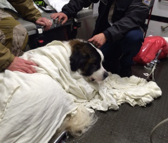 A Saint Bernard recovers after firefighters rescued him from a frigid lake during a blizzard in Virginia.
