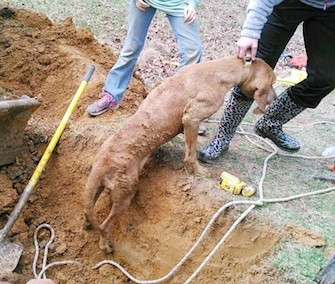 Penny, a 5-year-old Coonhound, got trapped in a pipe after chasing a raccoon.