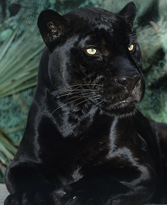 Orson, the San Diego Zoo's black jaguar, turns 20 years old.