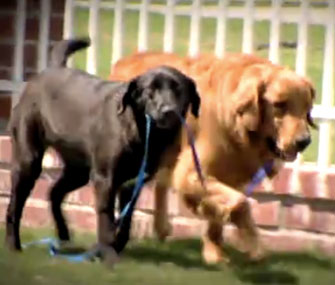 Blair, a black Lab mix, and Tanner, a Golden Retriever, help each other.