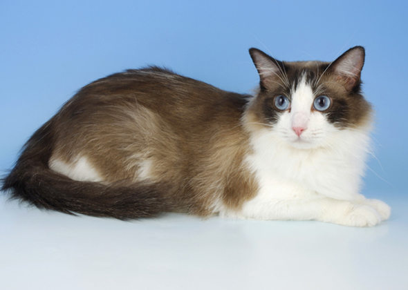 What Are The Top 10 Cat Breeds In America