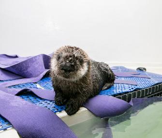 Sea Otter Pup 719