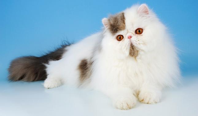 Persian Cat Breed Information