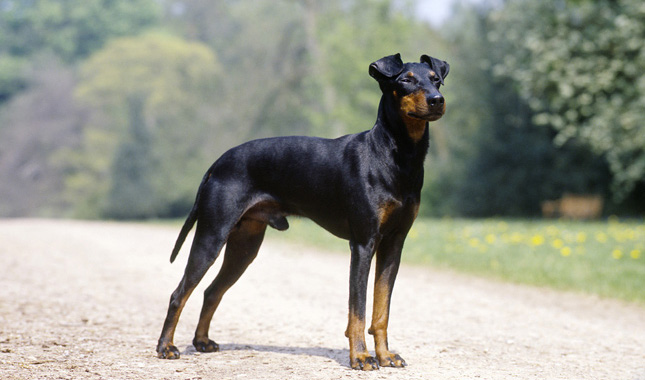 Toy Manchester Terrier : Manchester terrier breed information
