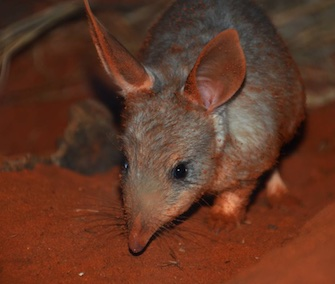 Two bilby joeys were born at the Taronga Zoo exhibit visited by the Duke and Duchess of Cambridge and their son, Prince George, in April.