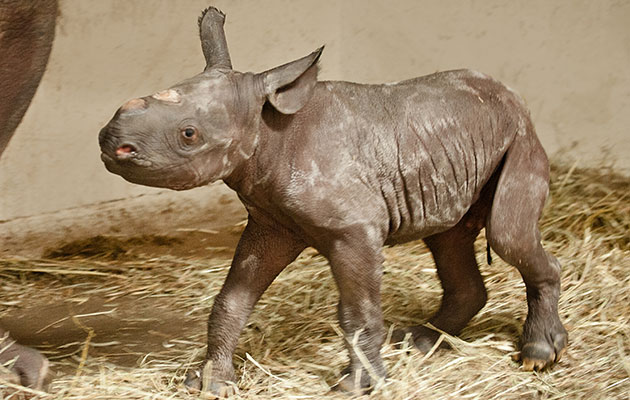 A baby black rhino was born at the Pittsburgh Zoo.