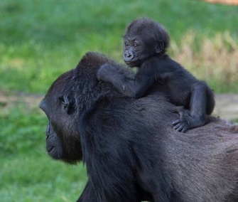 Kabibe gets a ride on her grandmother's back at the San Francisco Zoo.
