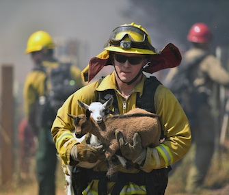 A firefighter rescues goats as flames from a wildfire envelop the area in Lower Lake, California, Sunday.