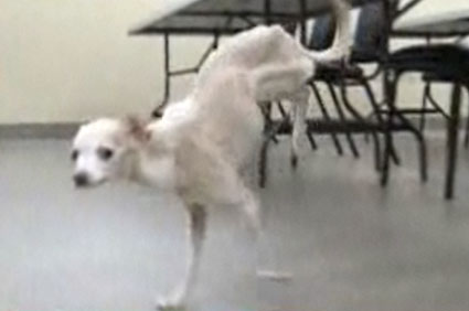 Chihuahua walks on two legs