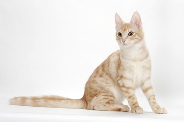 d98f8e4ed3c44e 6 Cat Breeds Who Love to Play With Water