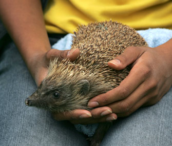 Hedgehog in Lap