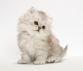 Small Persian Kitten