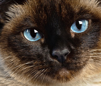 Siamese cat close-up