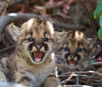 Two litters of mountain lion kittens were found in the mountains outside Los Angeles.