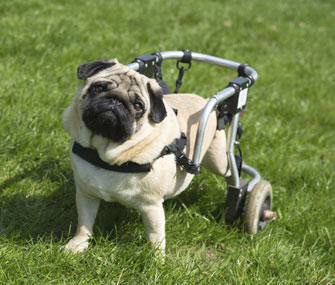 Pug in a wheelchair