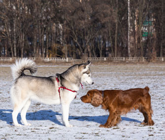 Dogs greeting in snowy field