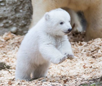An adorable polar bear cub steps out at the Hellabrunn Zoo in Munich.