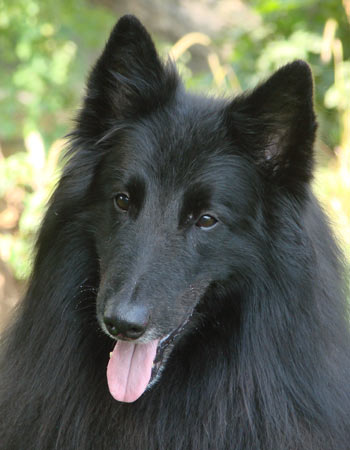 Eli the Belgian Sheepdog