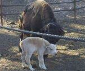 Smokey, a white buffalo, was born last weekend at Royal Gorge Bridge and Park in Colorado.