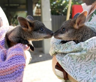 Two orphaned swamp wallaby joeys being hand-raised at the Taronga Zoo in Australia were introduced last week.