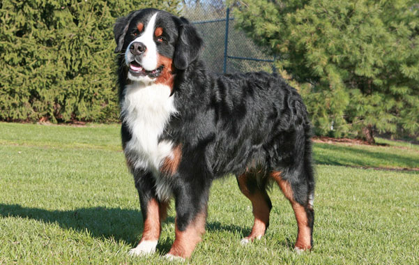 Bernese Mountain Dog Breed Information