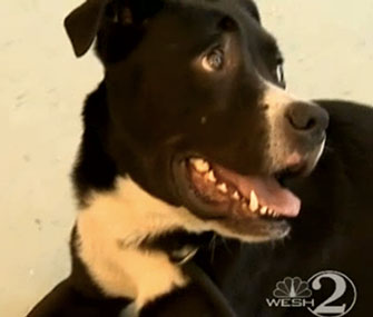 Rondo is back at the Flagler Humane Society after being found on I-95 in Florida.