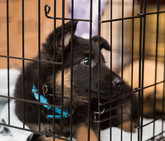 German Shepherd puppy in crate