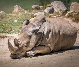 Angalifu died Sunday at age 44 at the San Diego Zoo Safari Park, leaving only five surviving northern white rhinos in the world.