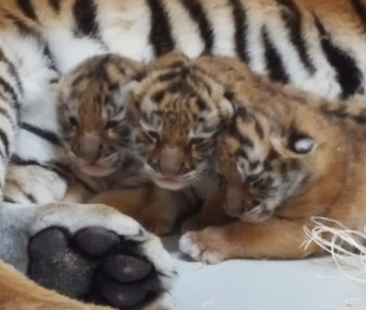Three tiger cubs are thriving with their mom at the Milwaukee County Zoo.
