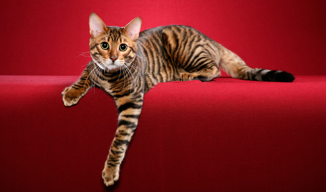 where to buy a toyger cat