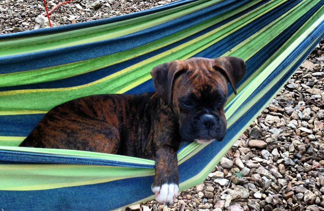 Nitto the Boxer puppy naps in a hammock