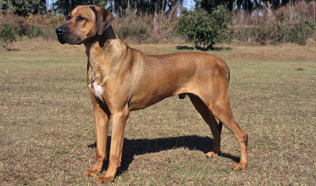 Dog Breeds Norwegian Ridgeback