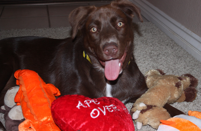Phoebe the chocolate Lab with toys.