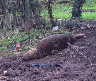 Police and animal rescue groups came to the aid of a wayward seal found in a field in England Monday.
