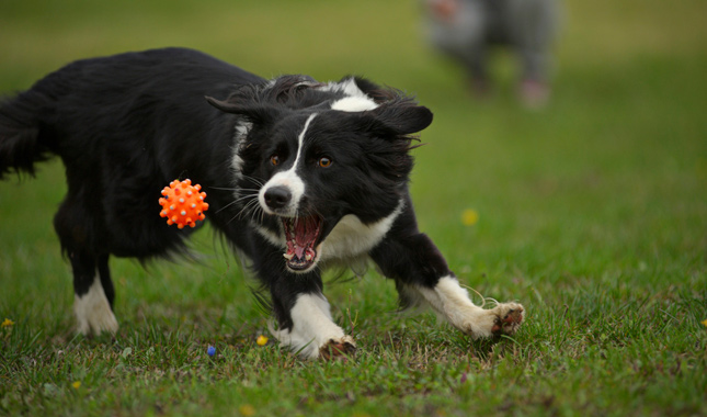 Image result for собака Border Collie играть