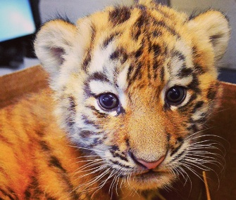 The Indianapolis Zoo is asking for the public's help with naming its Amur tiger cub.
