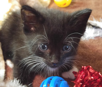 Black kitten with toys