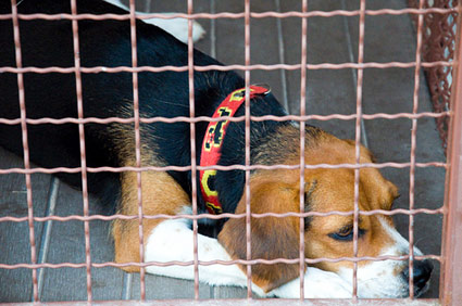 Beagle looking sad at animal shelter
