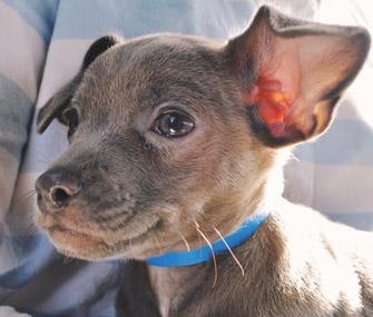 Uber Puppy Bowl puppy