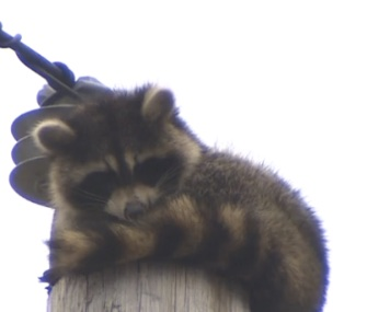 Utility workers saved a stuck raccoon from the top of a power pole.
