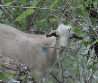 Goats have lots of work to do at the Congressional Cemetery in Washington.