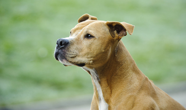 American Pit Bull Terrier Breed Information