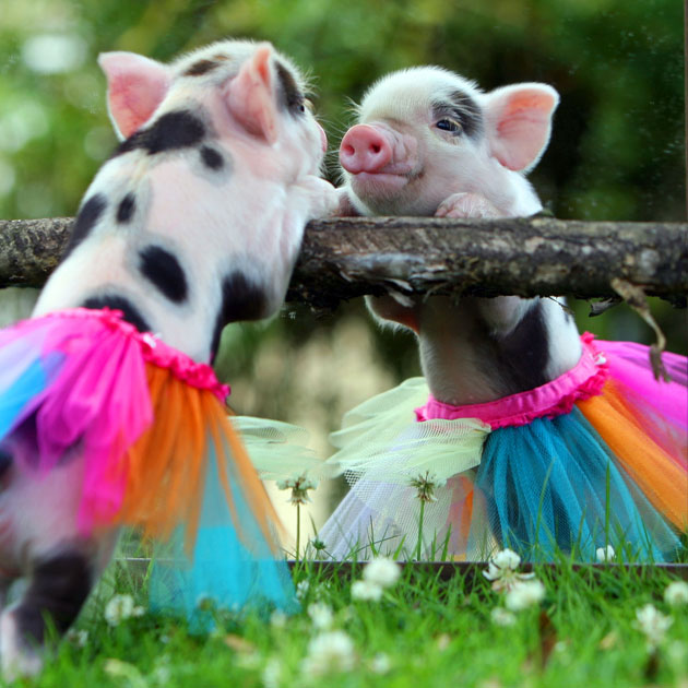 Wall Calendar Features Adorable Teacup Piglets