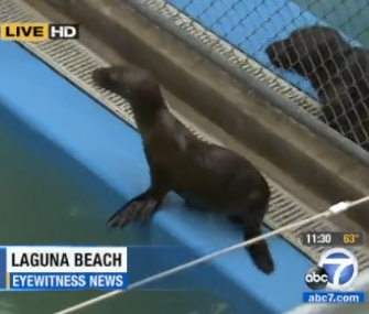 Some sea lions at the Pacific Marine Mammal Center were poisoned with chlorine just before they were ready for release.