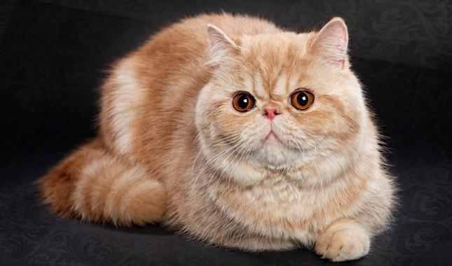 American Shorthair Black Cat Breeds