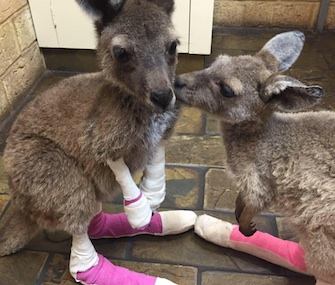 These two female kangaroo joeys are among the patients recovering from burns at a clinic in southwest Australia.