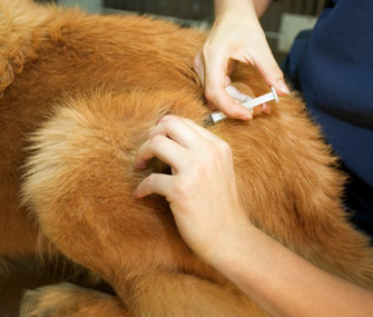 Dog getting vaccine