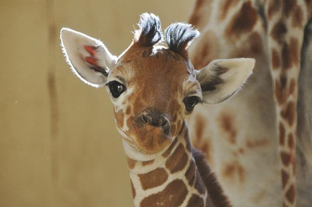 Baby Giraffe ZSL Whipsnade Zoo